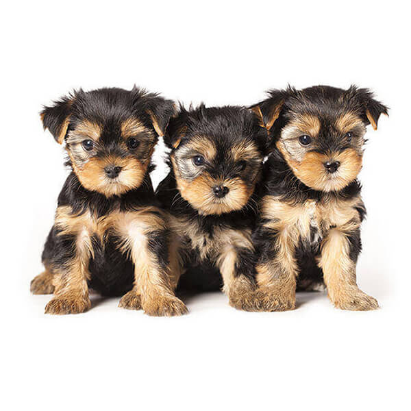 Eureka Vets Puppies 3