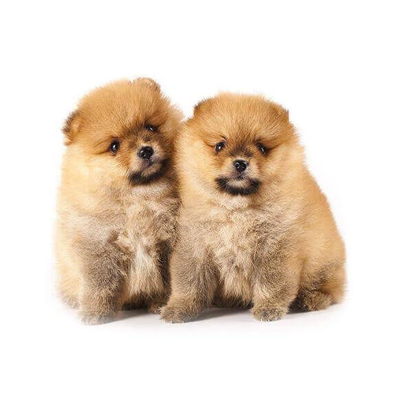 Eureka Vets Puppies 6