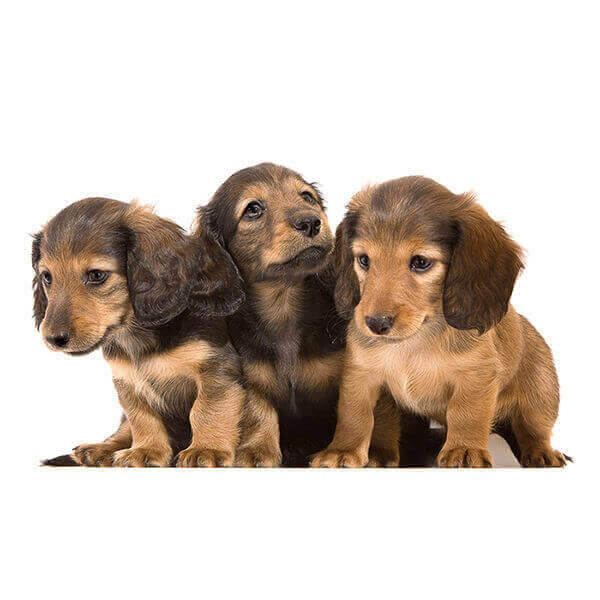Eureka Vets Puppies 7